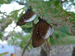 <i>Euploea climena</i> species of insect