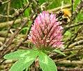 Clover bee (20291778764).jpg