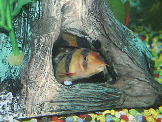 Clown loach - Two juvenile clown loaches with ich. Characteristically, for this stage of infestation, both are hiding in an ornament.