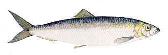 Atlantic herring - Image: Clupea harengus Gervais