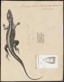 Cnemidophorus lemniscatus - 1700-1880 - Print - Iconographia Zoologica - Special Collections University of Amsterdam - UBA01 IZ12500049.tif