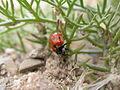 Coccinella undecimpunctata (2129065405).jpg