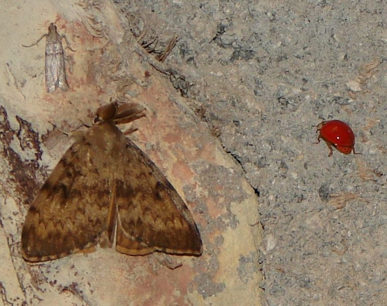 File:Coccinellidae fully red - Coccinelle rouge sans point noir.JPG