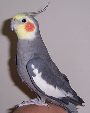 CockatielImage2