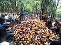 Cocoa farmers during harvest.jpg