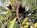 Coconut Plucker plucking coconuts on a tree in Mumbai..JPG