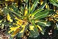 Codiaeum variegatum Nortii 2zz.jpg