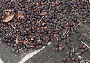 Tørrede kaffebær af typen Arabica.