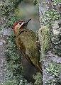 Colaptes rubiginosus Carpintero cariblanco Golden-olive Woodpecker (male) (10725577483).jpg