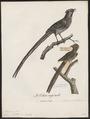Colius striatus - 1796-1808 - Print - Iconographia Zoologica - Special Collections University of Amsterdam - UBA01 IZ19300019.tif