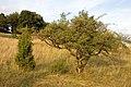 Colmberg Trockenrasenfläche 20080805 0001.jpg