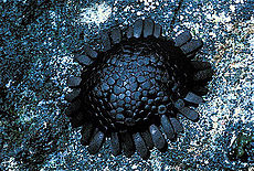 Colobocentrotus atratus Shingle urchin.jpg