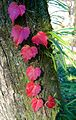 Colored ivy leaves - Flickr - odako1.jpg