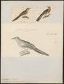 Columbula campestris - 1700-1880 - Print - Iconographia Zoologica - Special Collections University of Amsterdam - UBA01 IZ15600443.tif