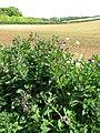 Comfrey (Symphytum officinale) - geograph.org.uk - 1300412.jpg