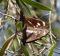 Common Crow. Euploea core. Mating pair - Flickr - gailhampshire (1).jpg
