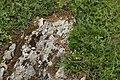 Common European Adder - Vipera berus (43484497234).jpg