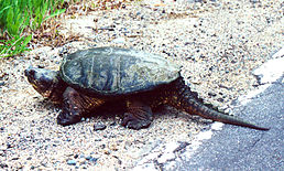 Common Snapping Turtle 1994.jpg