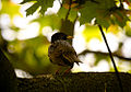 Common Starling on a branch (17551974165).jpg