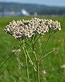 Common Yarrow (Achillea millefolium) - Oslo, Norway 2020-08-12 (02).jpg