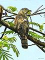 Common hawk-cuckoo (Hierococcyx varius) (8709550694).jpg