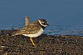 Common ringed plover, Charadrius hiaticula, at Marievale Nature Reserve, Gauteng, South Africa (45471771602).jpg