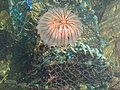 Compass Jellyfish - geograph.org.uk - 1546635.jpg