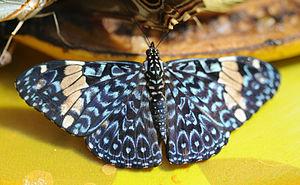 Hamadryas (butterfly) - Hamadryas amphinome (red cracker)