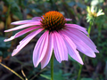 Coneflower.png
