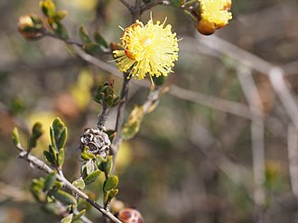 Conothamnus - Conothamnus aureus leaves, flowers and fruit