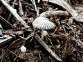 Coprinopsis candidata 469570.jpg