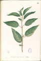 Corchorus acutangulus Blanco1.141-original.png