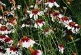 Coreopsis rosea Sweet Dreams 4zz.jpg