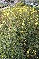 Coreopsis verticillata Moonbeam 4zz.jpg