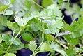 Coriandrum sativum Santo 0zz.jpg