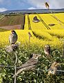 Corn Bunting from the Crossley ID Guide Britain and Ireland.jpg