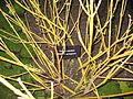 Cornus Stolonifera garden show 1.jpg