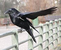 Corvus.corone.corone.with.open.wing.jpg