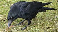 Corvus corone Rabenkrähe 1