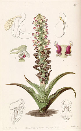 Corycium orobanchoides - Edwards vol 24 (NS 1) pl 45 (1838).jpg