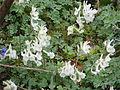 Corydalis malkensis (13163538324).jpg