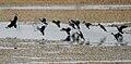 Cotton Pgymy Geese (Nettapus coromandelianus) W IMG 6805.jpg