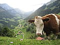 Cow and valley in Canton of Bern, Switzerland.jpg
