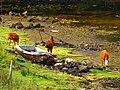 Cows - panoramio (17).jpg