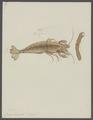 Crangon boreas - - Print - Iconographia Zoologica - Special Collections University of Amsterdam - UBAINV0274 097 05 0006.tif