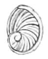 Cremnoconchus syhadrensis operculum.png