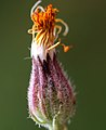 Crepis foetida inflorescence (15).jpg