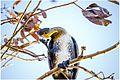 Crested Cormorant.jpg
