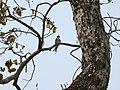 Crested Treeswift - Hemiprocne coronata - P1030701.jpg