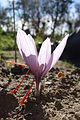 Crocus sativus, saffron (29).jpg